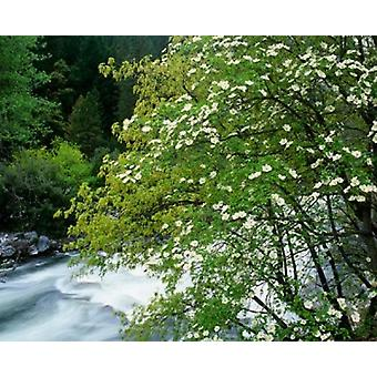 Flowering dogwood tree along the Merced River Yosemite National Park California Poster Print by Jaynes Gallery