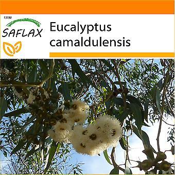 Saflax - tuin in de zak - 200 zaden - rivier rood tandvlees - Gommier des rivières - Eucalipto rosso - Eucalipto rojo - Roter Fluss - Eucalyptus