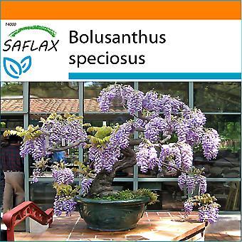 Saflax - Garden i Bag - 15 frø - Bonsai - afrikanske Wisteria Tree - Glycine arbre - Glicine africano - Glicinia africana - B - Afrikanischer Blauregen