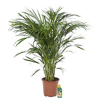 Kamerplant – Goudpalm + 250 ml kunstmest als set – Hoogte: 90 cm