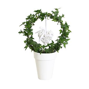 Choice of Green - Hedera helix - Ivy arc with heart- ↑ 45 CM - ceramic pot white Ø 13 CM - Hedera helix