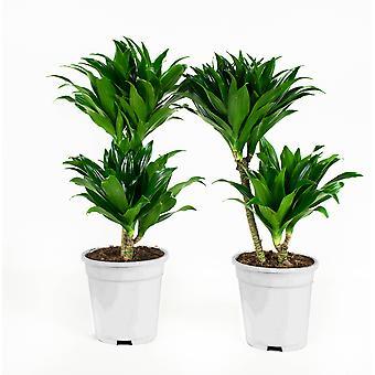 Plantes d'intérieur de Botanicly – 2 × Dragonnier – Hauteur: 65 cm – Dracaena fragr. compacta