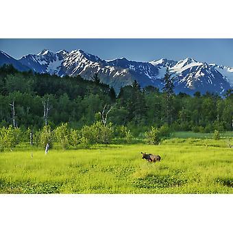 Sommerlandschaft der Elch Kuh auf einer Wiese Feuchtgebiete mit Chugach Mountains im Hintergrund in der Nähe von Girdwood Southcentral Alaska Sommer PosterPrint