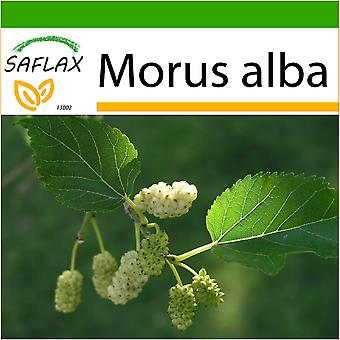 Saflax - 200 semi - con terreno - gelso bianco - Mûrier blanc - Moro bianco - Morera blanca - Weißer Maulbeerbaum
