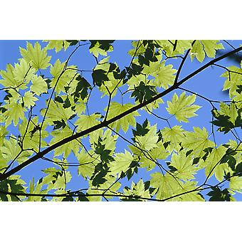 Close-Up Of Green Leaves On Maple Tree Against Blue Sky Sunlight Creates Shadows PosterPrint