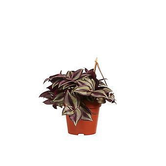 Vaderplant ↕ 20 tot 20 cm | Tradescantia zebrina