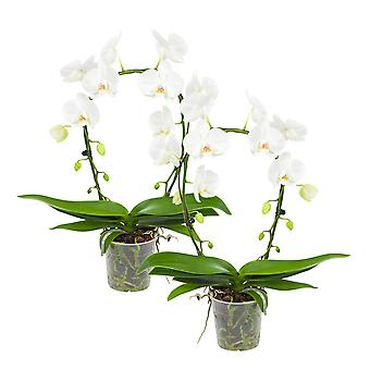 Choice of Green - White orchid Mirror Miracle or butterfly orchid - Set of 2 pieces