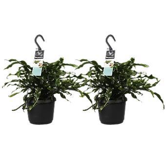 Helecho Canguro ↕ 40 a 40 cm | Microsorum Diversifolium