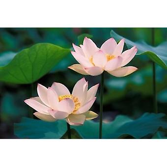 פרח לוטוס בפרח בלוסום הדפס פוסטר של קרן סו