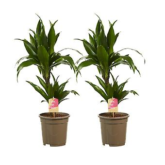 Choice of Green - Set of 2 Dracaena Deremensis Janet Graig - Compact Dragon Tree