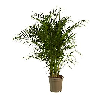 Dypsis Areca Golden Palm - Hoogte 125 cm - Diameter pot 24 cm