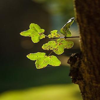 Acer monspessulanum (Montpellier maple) - Plant