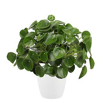 Zimmerpflanze – Ufopflanze in weißem Übertopf als Set – Höhe: 50 cm