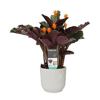 Planta Interior – Calathea crocata Candela em pote de plástico ELHO branco como conjunto – Altura: 45 cm