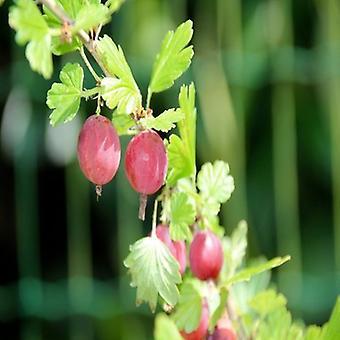 Ribes uva-crispa (Gooseberry) - Plant