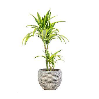 Indendørs plante – Dragetræ i brun plastpotte som sæt – Højde: 70 cm