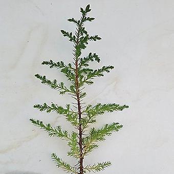 Cupressus lusitanica (Portuguese Cedar) - Plant