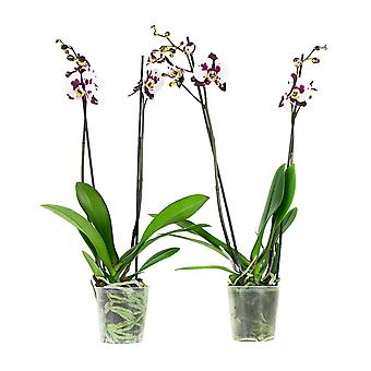 Choice of Green - 2 Phalaenopsis Polka Dots White or Butterfly Orchid