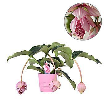MoreLIPS® - Medinilla magnifica  - inclusief roze keramieken decopot -hoogte 60-70 cm - potdiameter: 19 cm