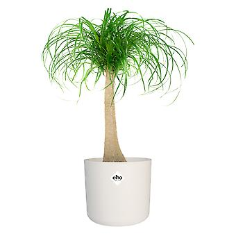 Choice of Green - 1 Beaucarnea Recurvata - Ponytail palm