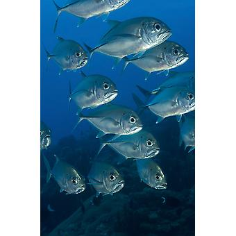 A school of bigeye trevally South Emma Reef Kimbe Bay Papua New Guinea Poster Print