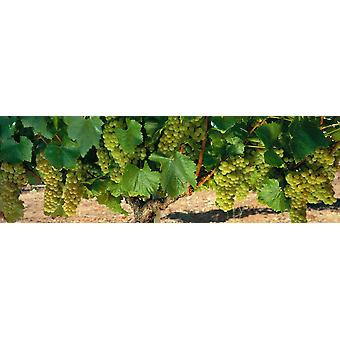 Chardonnay Grapes On The Vine Napa California USA Poster Print
