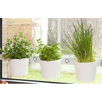 Cabbage head plants head herb garden white window and wall mounting