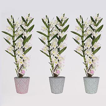 Orchidées de Botanicly – 3 × Bambou Orchidée – Hauteur: 50 cm, 2 pousses – Dendrobium nobile Kumiko