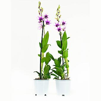 Orchids from Botanicly – 2 × Dendrobium Sa-Nook – Height: 55 cm, 1 stem