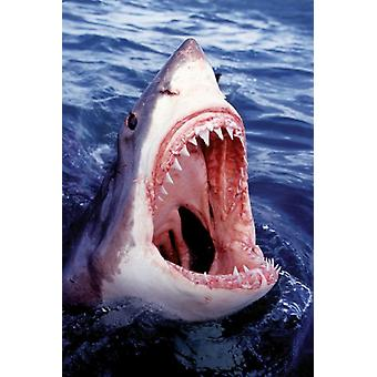 Grand requin blanc affiche Poster Print