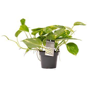 Zimmerpflanze von Botanicly – Efeutute – Höhe: 15 cm – Scindapsus Aureum