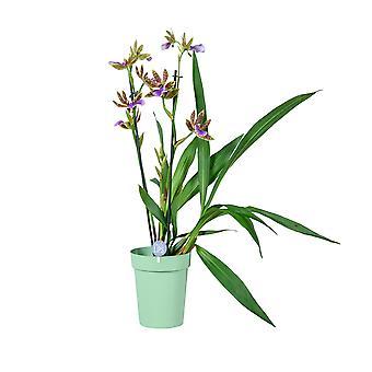 MoreLIPS® - Orkidea - Zygopetalum 'Sensation' - 2 haara - vihreä decopot - korkeus 45-55 cm