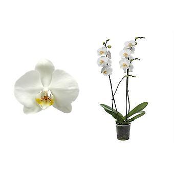 Orkidea kasvitieteellisestä – Perhos orkidea – Korkeus: 55 cm, 2 vartta – Phalaenopsis Ghost Town
