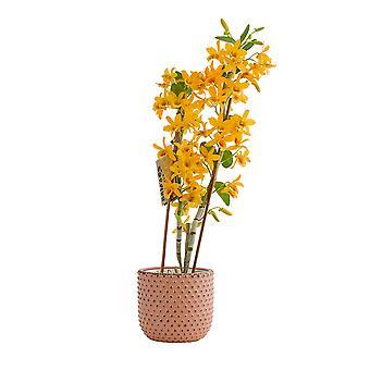 Orchidee – Bambus Orchidee in rosafarbenem Keramik Übertopf als Set – Höhe: 50 cm, 3 Triebe