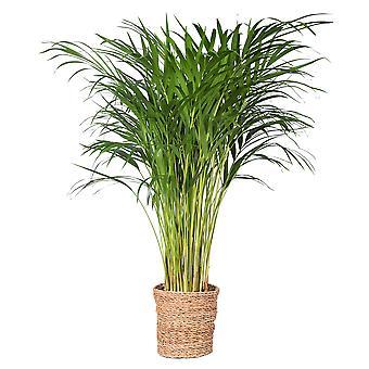Roślina wewnętrzna – Złota dłoń w koszu rattanowym w kompletie – Wysokość: 85 cm