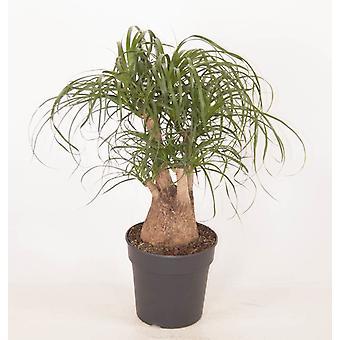 Roślina w pomieszczeniach z Botanicly - Palma kucyka - Wysokość: 60 cm, 3 łodygi – Beaucarnea recurvata