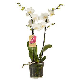 Phalaenopsis Multiflora White Butterfly Orchid - Hauteur 50 cm - Pot de diamètre 12 cm