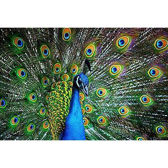 Fondo de pantalla Mural Peacock