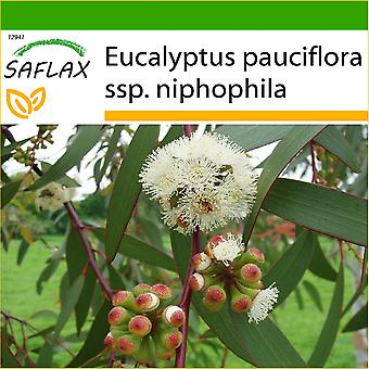 Saflax - 250 frø - med jord - Alpine snø tannkjøtt - Gommier des neiges - Eucalipto gomma da neve - Eucalipto de nieve - Antonio - Eucalyptus