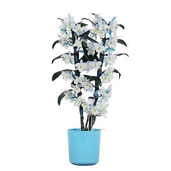 Orchid - Bambus Orchid i blå urtepotte som et sæt - Højde: 50 cm, 2 stængler, hvid-blå blomster