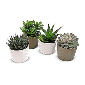 Plantes d'intérieur de Botanicly – 4 × Mélange succulent – Hauteur: 12 cm – Succulentus