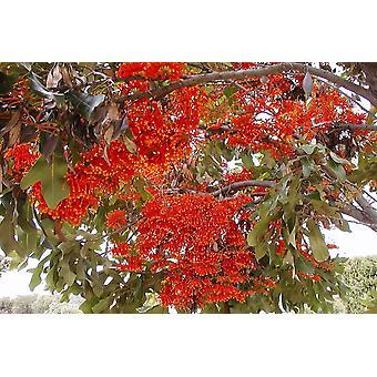 Saflax - 20 graines - Firewheel arbre - Roue de feu sortira - Albero Ruota di fuoco - Árbol de ruedas de fuego - Australischer Feuerradbaum