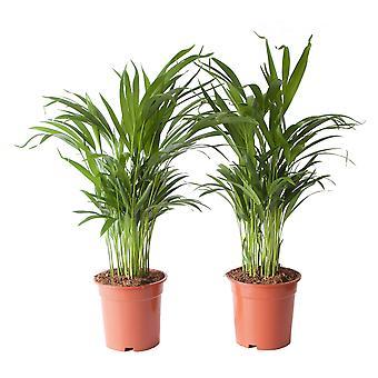 Dypsis Areca Golden Palm - komplet 2 sztuk - Wysokość 65 cm - Garnek średnicy 17 cm