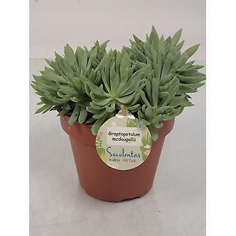 Plante d'intérieur de Botanicly – Mélange succulent – Hauteur: 25 cm – Succulentus