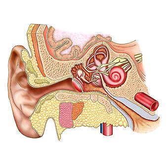 Anatomy of human ear Poster Print