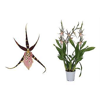 Orchidee van Botanicly – Spinnen Orchidee – Hoogte: 60 cm, 3 takken – Brassia Shelob