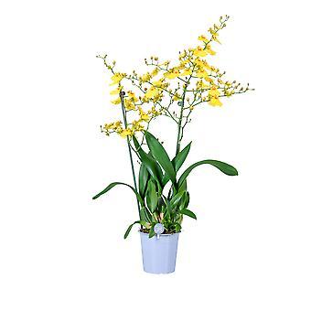 MoreLIPS® - Orchid -  Oncidium 'Munsterland' -  2 tak - in kweekpot - hoogte 45-55 cm