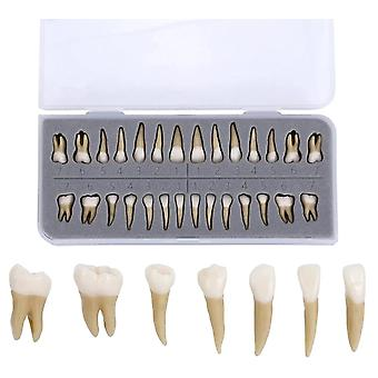 Tandimplantaat Tandartspraktijk Product Dental Teeth Model