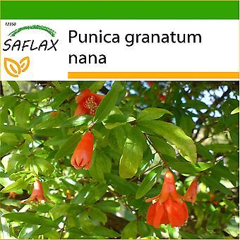 Saflax - 50 zaden - met bodem - dwerg granaatappel - Grenadier nain - Melograno nano - Granado enano - Zwerg - Granatapfel