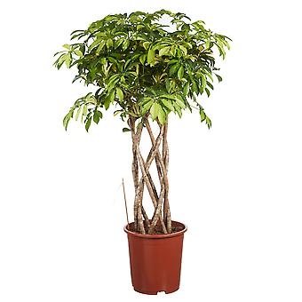 Indoor tree from Botanicly – umbrella tree – Height: 110 cm – Schefflera Trinette